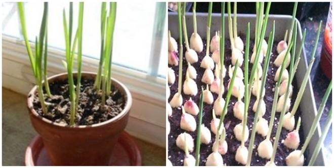 Fokhagyma termesztés egész évben a konyhaablakban!
